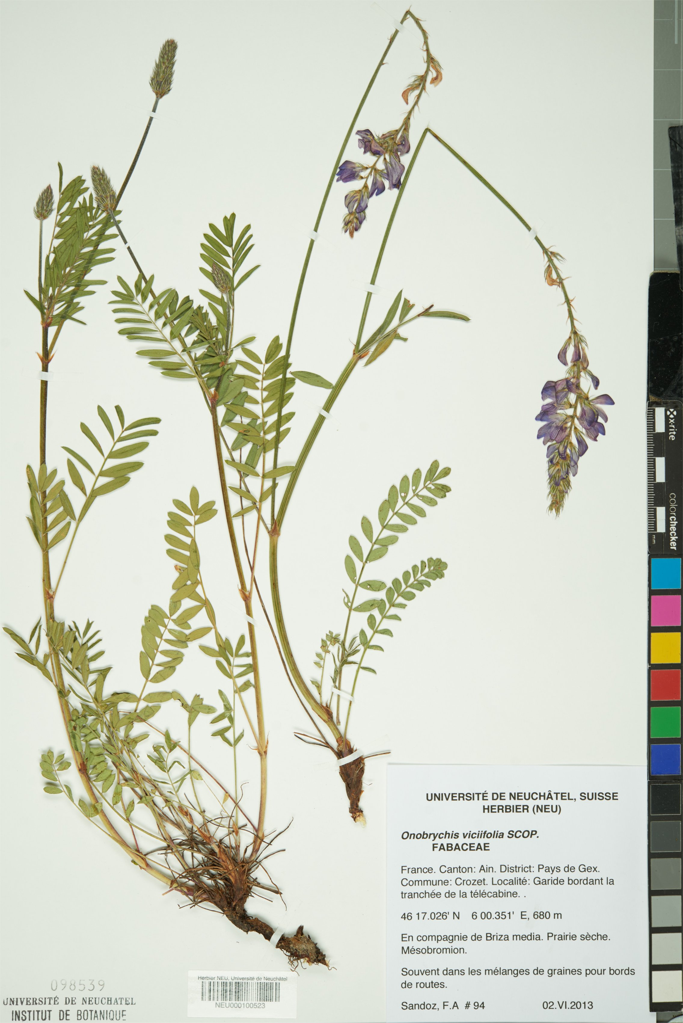 Esparcette Cultivée ~1000 Graines de Sainfoin Onobrychis Viciifolia