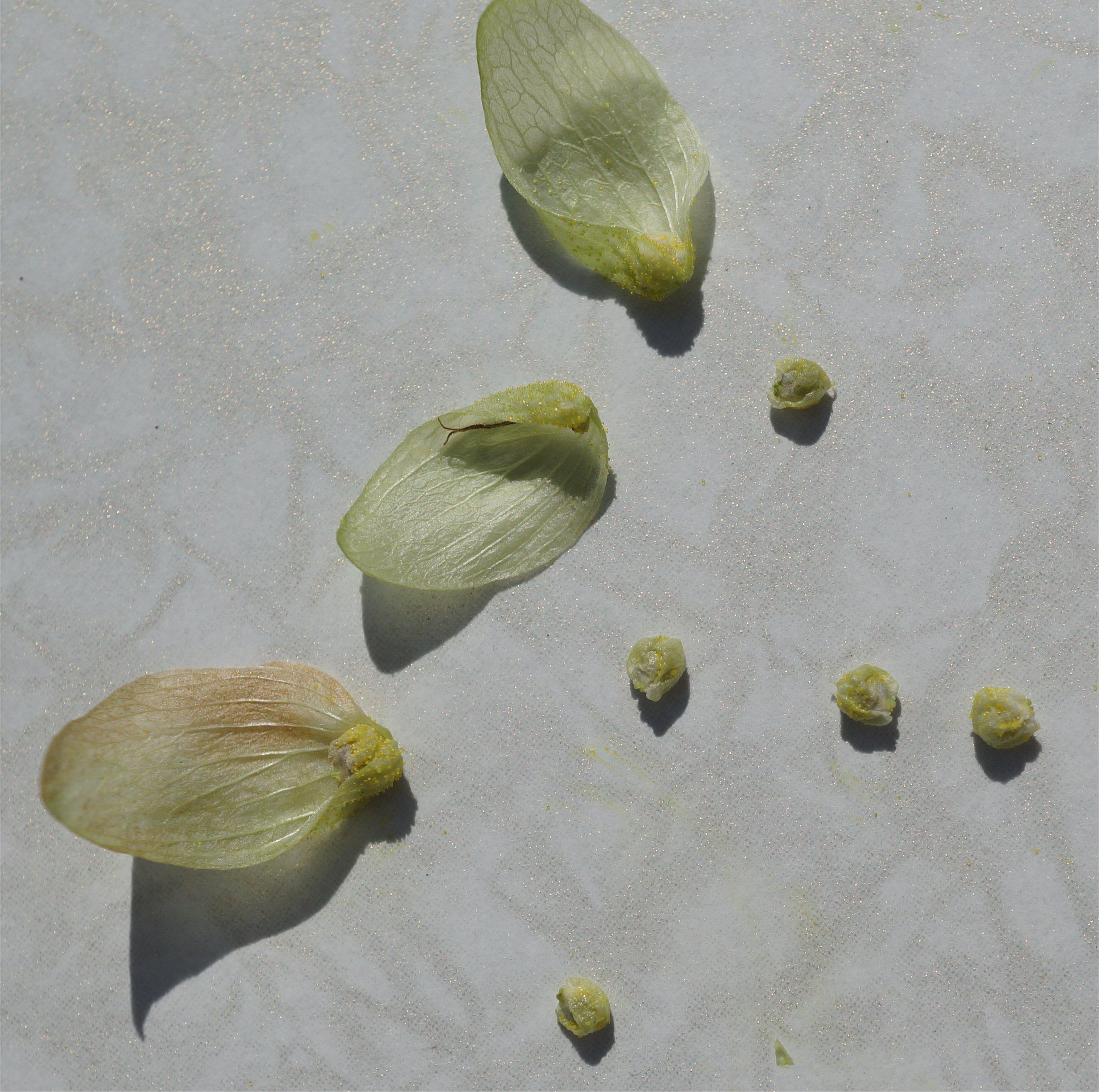Afbeeldingsresultaat voor hop plant